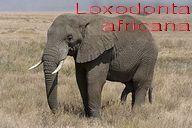 320px-Serengeti_Elefantenbulle text