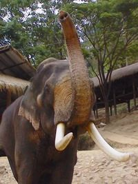 Big Asian tusker