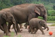 elephant_football