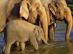 malaysian elephants
