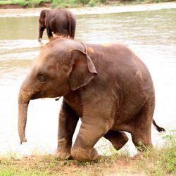 nepal elephant conservation