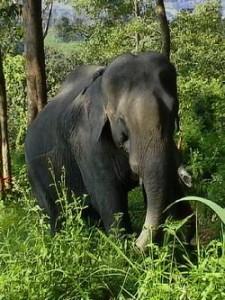 wild elephants malaysia