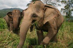 wild elephants nepal