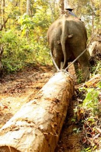 burma logging elephant