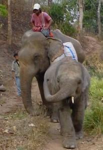 cambodian elephant