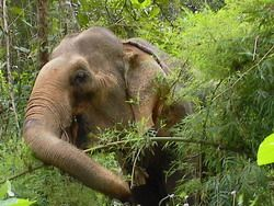 wild elephants burma