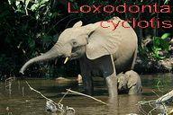 320px-Loxodontacyclotis text