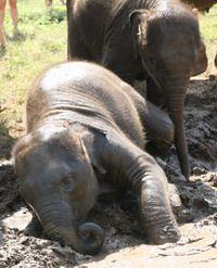 baby elephant at play