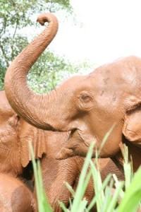 domesticated elephants Indonesia
