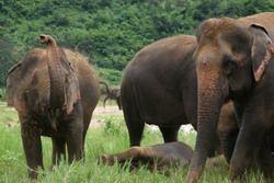 domesticated elephants nepal