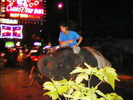 drugged street elephant