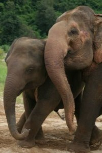 wild elephants indonesia